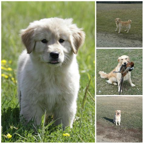 golden retrievers wisconsin golden retriever puppies in wisconsin breeds picture