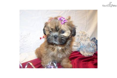 nanuke shih tzu shih tzu puppy for sale near south coast massachusetts 35128749 93d1