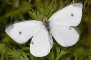 pieris rapae small white butterfly artogeia rapae