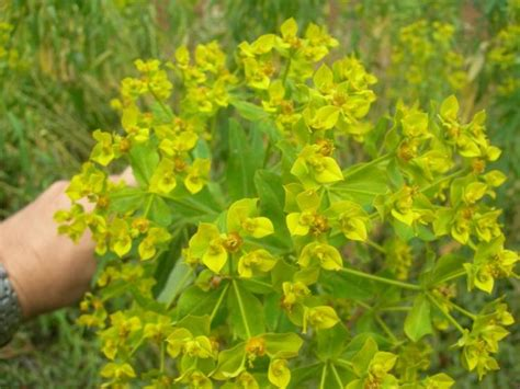 painted spurge scientific name euphorbia ceratocarpa euforbia cornuta