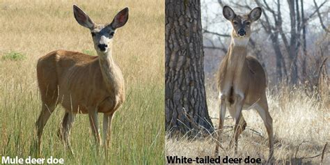Grayish Blue A Quick Guide To Differentiate Mule Deer From White Tailed