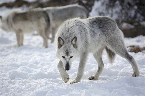 a wolf ben s shares wolf hollow looking after some of the most misunderstood animals