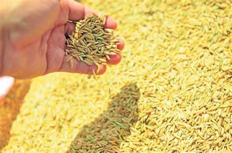 el tel 233 grafo la producci 243 n de arroz cubrir 225 la demanda local - Cadena Productiva Arroz