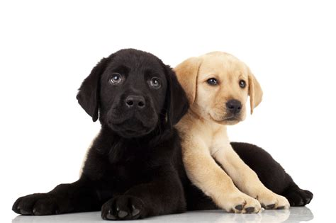 and the puppy international guide dogs day how to become a puppy raiser