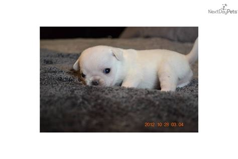 white pug puppies for sale near me pug puppy for sale near southwest michigan michigan c58c194c 9991