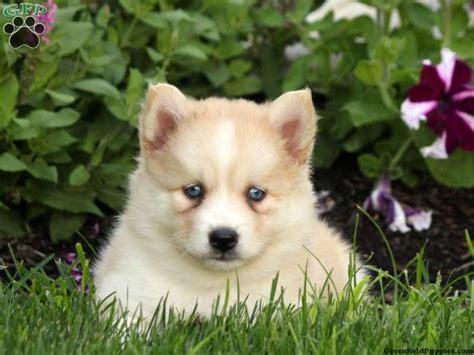 pomsky puppies for sale in pa 121 best pomsky puppies for sale images on pomsky puppies blue and boat