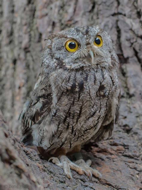 17 best images about birds owls screech owls on