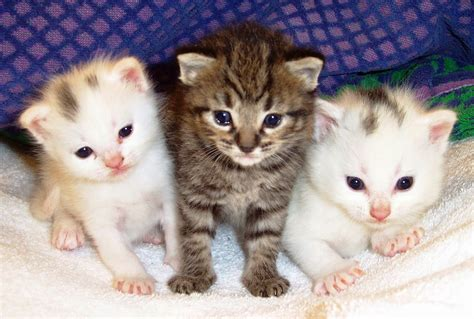 three cute kittens lovable images cute cat wallpapers free download