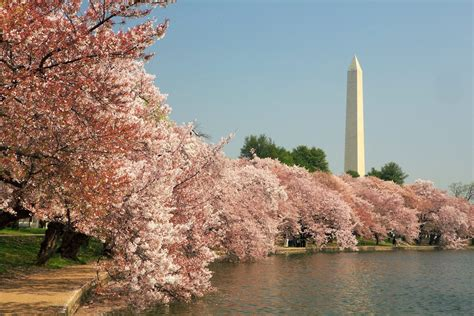 national cherry blossom festival national cherry blossom festival drive the nation