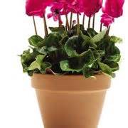 linguaggio dei fiori ciclamino ciclamino foglie gialle malattie delle piante curare