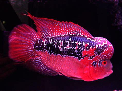Pakan Ikan Louhan Srd flowerhorn the hybrid cichlids king kamfa