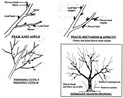 trimming fruit trees in winter pruning