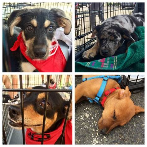 buy puppies nj hurricane harvey rescue dogs find new homes at max challenge new providence event