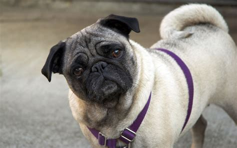 pug images in hd pug best hd wallpapers 2013 all about hd wallpapers