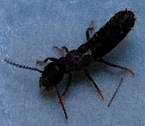 termite alate unseasonal october rains result  numerous