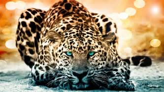 Jaguars Cat Jaguar Documentary The Year Of The Cat History