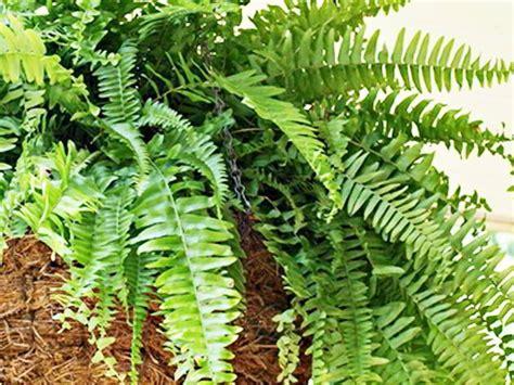 Tanaman Pakis Sarang 1 30 jenis tanaman hias untuk taman dinding vertikal beserta gambarnya