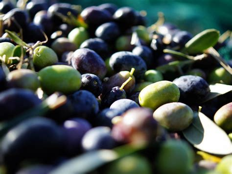 Sho Olive Korea a beginner s guide to olives 14 varieties worth seeking