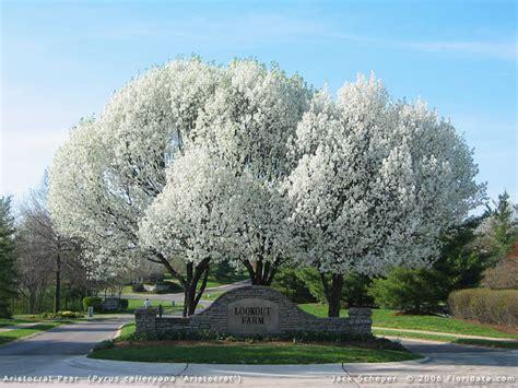 pero da fiore ornamental pear pyrus calleryana evergreen growers
