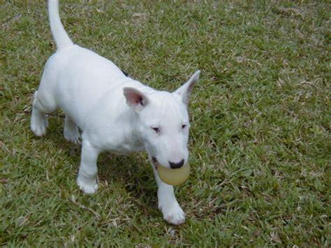 miniature bullterrier puppies breed information puppies miniature bull terrier dog breed information puppies