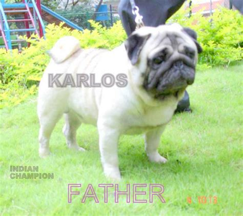 pug puppies for sale in chennai pug names quotes