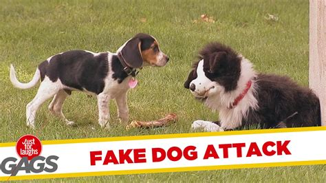 a real puppy stuffed attacks real just for laughs gags