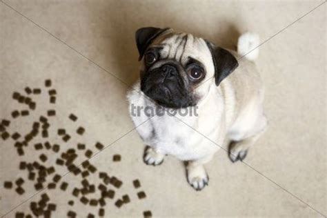pug puppy food amount pug sitting on the floor with food looking up and be