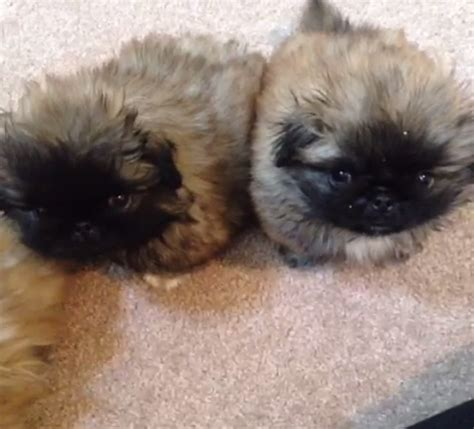 buzzfeed puppies stop everything and look at these vines of fluffy puppy tushes