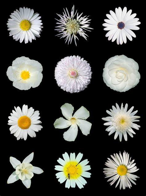 White Left Flower file white flowers b jpg wikimedia commons
