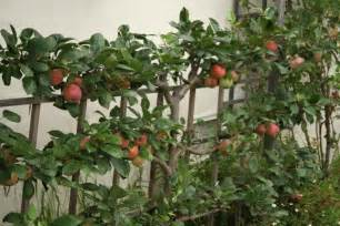 espalier fruit tree step by step espalier directions