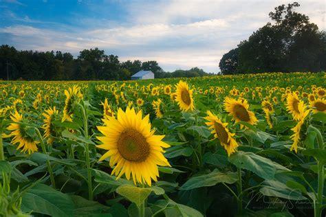 grinter farms grinter farms sunflowers lawrence ks