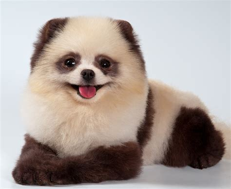 panda puppy panda dogs reference