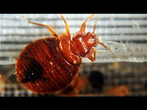 Bed Bug Pill Study Suggests Drug May Kill Blood Sucking