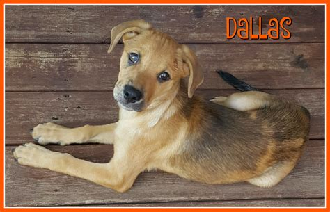 puppy adoption dfw dallas safe rescue