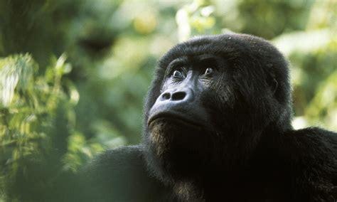 Gorillas in our midst. | James Zaworski's Blog