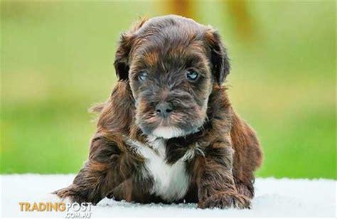 shih tzu puppies for sale nz 4 shih tzu poodle pups wallpaper