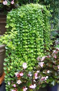 Trailing Foliage Plants For Hanging Baskets - plant watching observations of a garden
