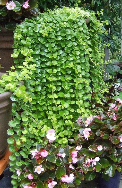 Trailing Foliage Plants For Hanging Baskets - grow your success plant watching