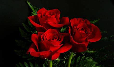 Imagenes Rosas En Hd | fotos de rosas rojas hd im 225 genes y fotos