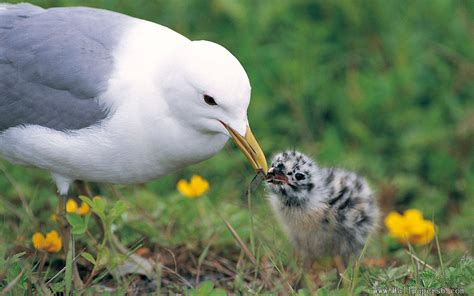 the mother bird feed her baby bird with larve animal