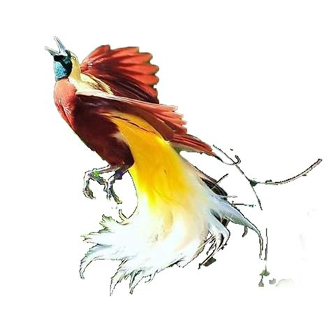 cara buat gambar format png cara cepat membuat lukisan burung cendrawasih di coreldraw