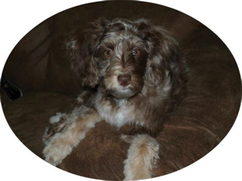 mini labradoodles wa mini f1 aussiedoodle puppies for sale aussiedoodle and