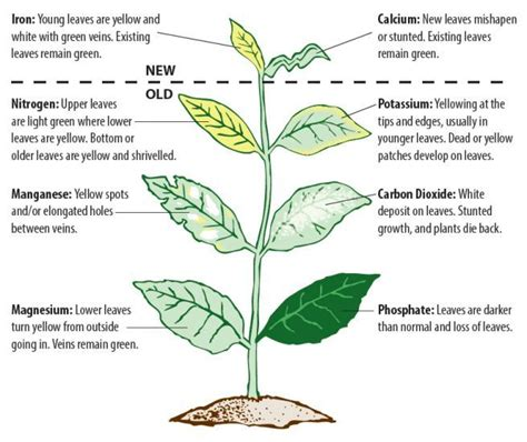 Biji Kopi Lung flower growth diagram image collections how to guide and refrence