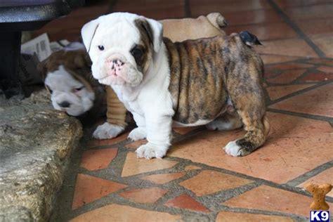 bulldog puppies for sale in san antonio bulldog puppies for sale in