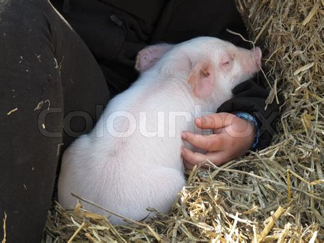 taking comfort cute piggy taking comfort in the arms of a child stock