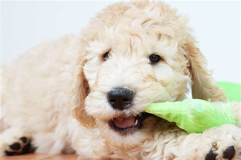 how to help a teething puppy puppy teething everything you need to petspot