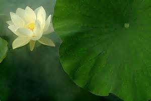 White Lotus Flower Effects Lotus Flower Gallery Lotus Flower Images Lotus Flower