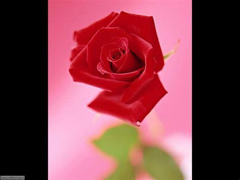imagine fiori foto fiori singoli per sfondi settemuse it