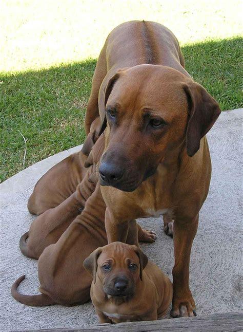 rhodesian ridgeback puppies rhodesian ridgeback dogs breeds pets