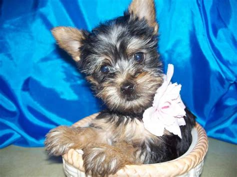 silky puppies silky terriers for sale ads free classifieds